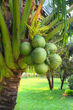 Coconuts on coconut palm Stock Image