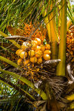 Coconuts on a coconut palm tree. Detailed view Royalty Free Stock Photo