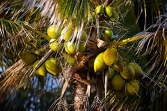 Coconuts on a coconut palm tree Royalty Free Stock Image