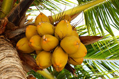 Coconuts on a coconut tree Stock Images
