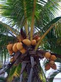 Coconuts. Coconut tree on the beach ready to eat super hidrating Stock Photos