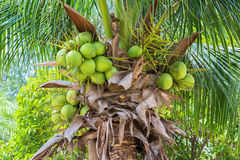 Coconuts on coconut tree Royalty Free Stock Images