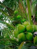 Coconuts on coconut tree. Coconuts on the high coconut tree Royalty Free Stock Photography