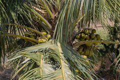 Coconuts in a coconut tree. Photo of coconuts in a coconut tree Royalty Free Stock Photos