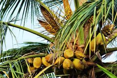 Coconuts on Coconut Tree. Coconut tree plantation in Kerala. Coconut cultivation. ready to pickup Stock Images