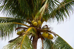 Coconuts on coconut tree Stock Image