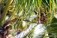 Coconuts with coconut tree Royalty Free Stock Photography