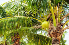 Coconuts with coconut tree Stock Image