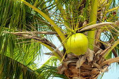 Coconuts with coconut tree Royalty Free Stock Photo