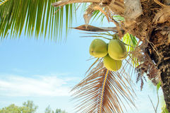 Coconuts with coconut tree Royalty Free Stock Image