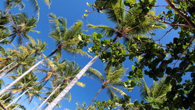 Coconuts. The coconut-trees beside a beach near Porto Seguro, BA - Brazil Stock Images