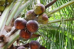 Coconuts dry on the palm tree in nature.  Stock Photos