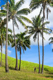 Coconuts in Easter Island, Chile Royalty Free Stock Photography