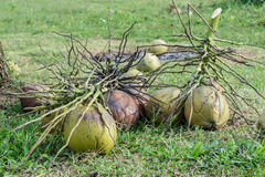 Coconuts on field Royalty Free Stock Images