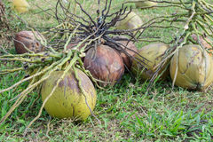 Coconuts on field Royalty Free Stock Photos
