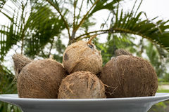 Coconuts. Four coconuts arranged in a white platter Stock Photography