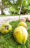 Coconuts in garden Stock Images