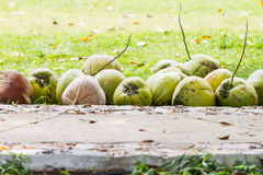 Coconuts in garden Royalty Free Stock Photo