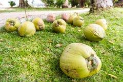 Coconuts in garden Royalty Free Stock Photos