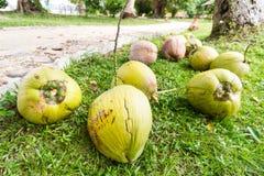Coconuts in garden Stock Photo