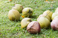 Coconuts in garden Stock Photos