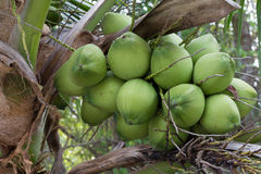 Coconuts in the garden. Green Coconuts in the garden Stock Photography