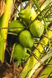 Coconuts green Royalty Free Stock Photo