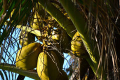 Coconuts. Green coconuts growing on a palm tree Stock Images