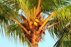 Coconuts grow on a palm tree Stock Photography