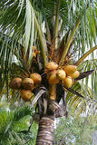 Coconuts Growing. A closeup of coconuts growing in a coconut palm tree Stock Photography
