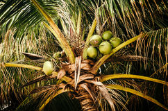 Coconuts growing on palm tree Royalty Free Stock Image