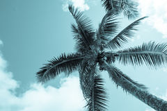 Coconuts hang above from palm trees and fronds sway in breeze ab Royalty Free Stock Photos