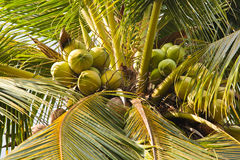 Coconuts hanging. Close up of coconuts hanging Stock Photo