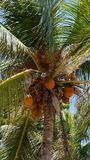 Coconuts hanging on coconut palm tree. Orange coconuts hanging on coconut palm tree Royalty Free Stock Photo