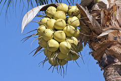 Coconuts hanging from palm. Bunch of ripe coconuts hanging from palm tree Royalty Free Stock Photography