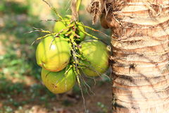 Coconuts hanging on a palm. A coconut is a plant of seashores, preferring sandy soils, therefore the first place on production volumes with the large tearing Stock Photography