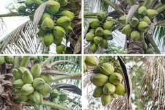 Coconuts Hanging. Coconuts on a palm tree Royalty Free Stock Photo