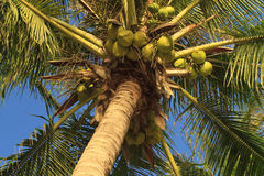 Coconuts hanging on a palm tree. Close up of coconuts hanging on a palm tree against a blue sky Royalty Free Stock Images