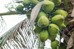 Coconuts Hanging on Palm Tree Royalty Free Stock Photography