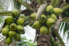 Coconuts Hanging on Palm Tree Stock Photo