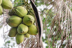 Coconuts Hanging on Palm Tree Royalty Free Stock Photo