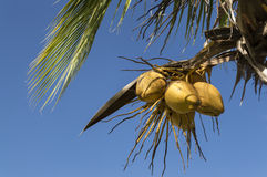 Coconuts hanging on. A palm tree Royalty Free Stock Photos