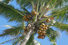 Coconuts hanging from Palm Tree. Close up of coconuts hanging from Palm Tree with blue sky as background stock photography