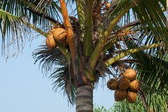 Coconuts Hanging on Palm Tree. This is a close up of king coconuts cluster in the palm against the blue sky background. King coconut is a type of coconut fruit Stock Photo