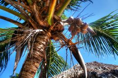 Coconuts hanging in tropical palm tree Royalty Free Stock Photo