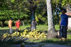Coconuts harvest in Playa El Espino, El Salvador Stock Images