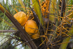 Coconuts, La Digue, Seychelles. Coconuts in a palm tree in La Digue, Seychelles Stock Photography