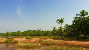 Coconuts landscape. Coconut landscape and fields in Kannur, Kerala Stock Photography