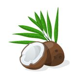 Coconuts with leaves. Vector illustration. Stock Photos