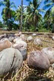 Coconuts left in the sun. Coconuts in the background of palms in Philippines Royalty Free Stock Image
